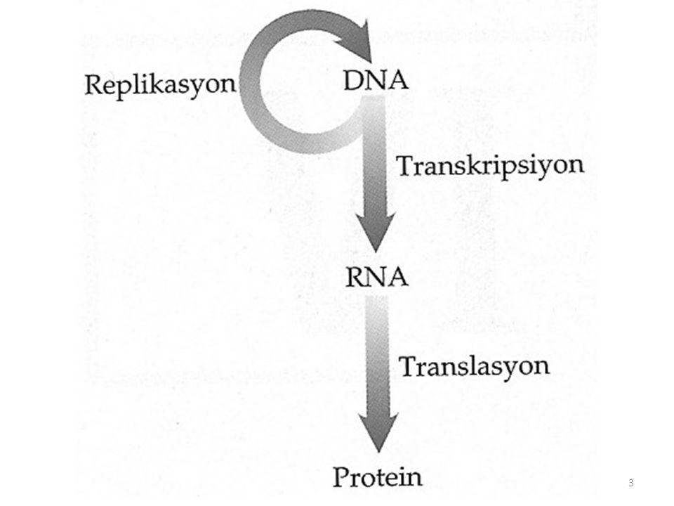 • DNA replikasyonu yarı koruyucu bir model ile açıklanır.