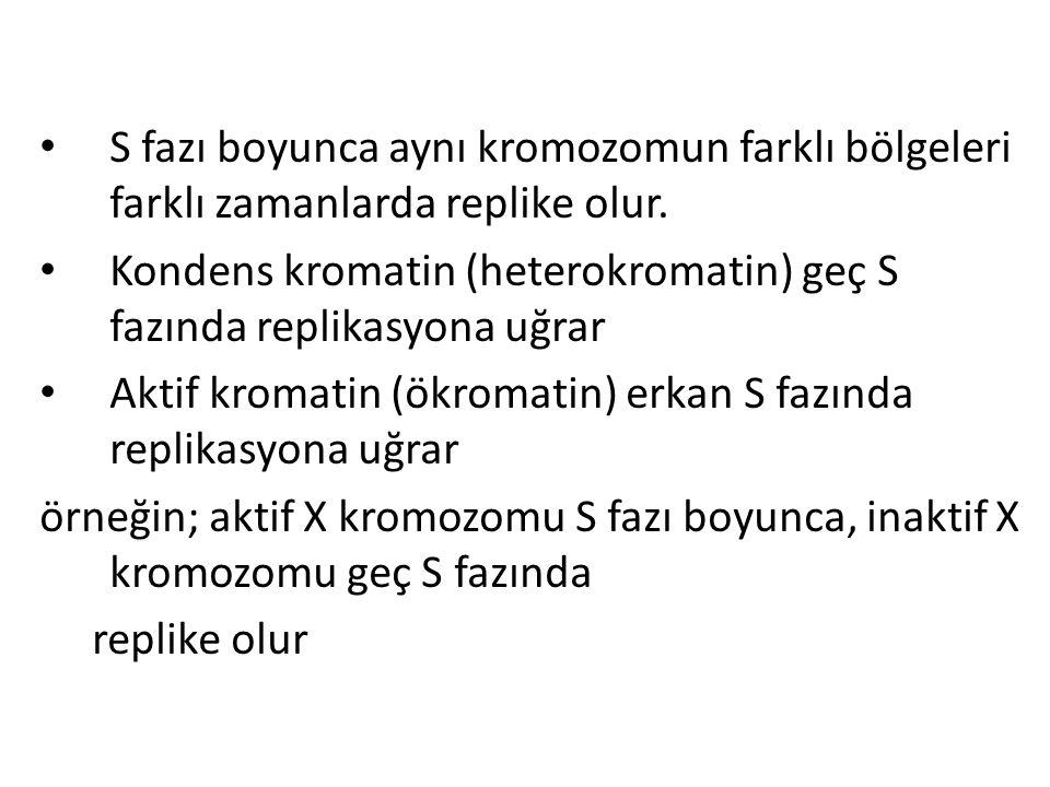 • S fazı boyunca aynı kromozomun farklı bölgeleri farklı zamanlarda replike olur. • Kondens kromatin (heterokromatin) geç S fazında replikasyona uğrar