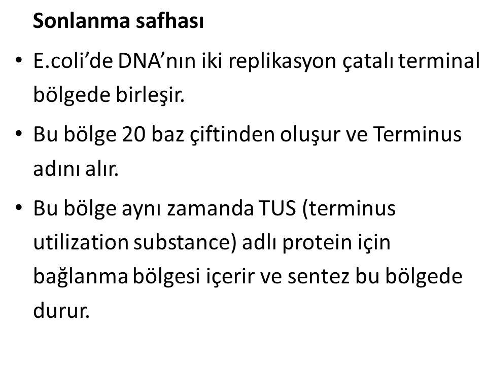 Sonlanma safhası • E.coli'de DNA'nın iki replikasyon çatalı terminal bölgede birleşir. • Bu bölge 20 baz çiftinden oluşur ve Terminus adını alır. • Bu