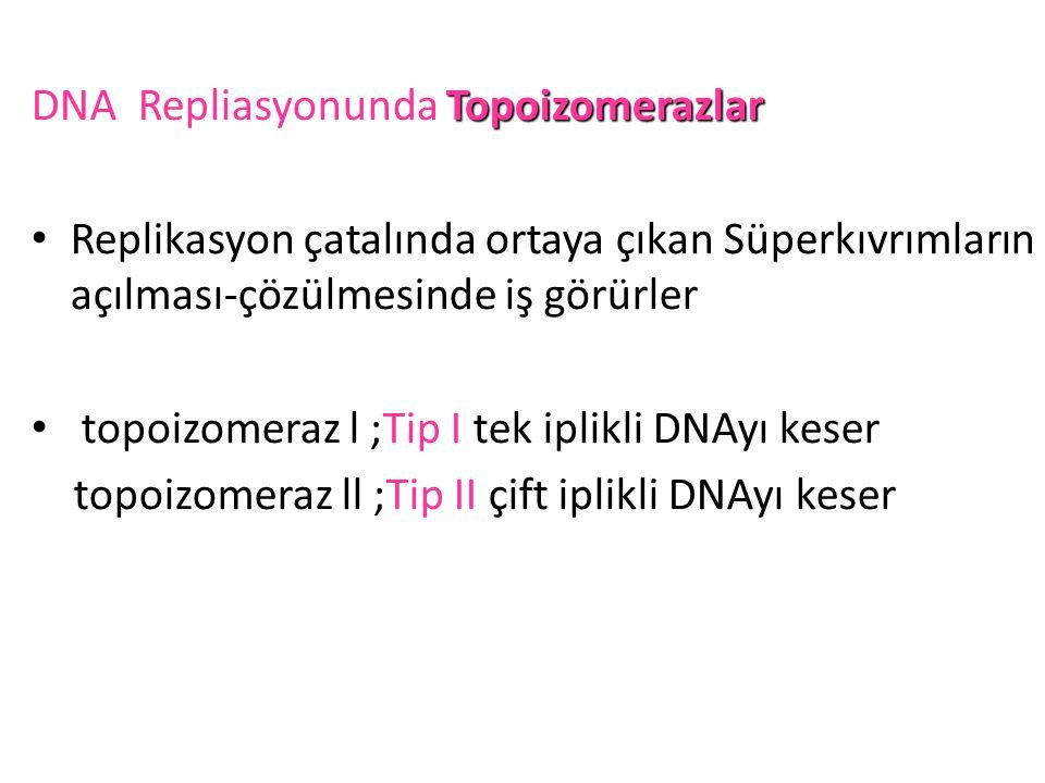 Topoizomerazlar DNA Repliasyonunda Topoizomerazlar • Replikasyon çatalında ortaya çıkan Süperkıvrımların açılması-çözülmesinde iş görürler • topoizome
