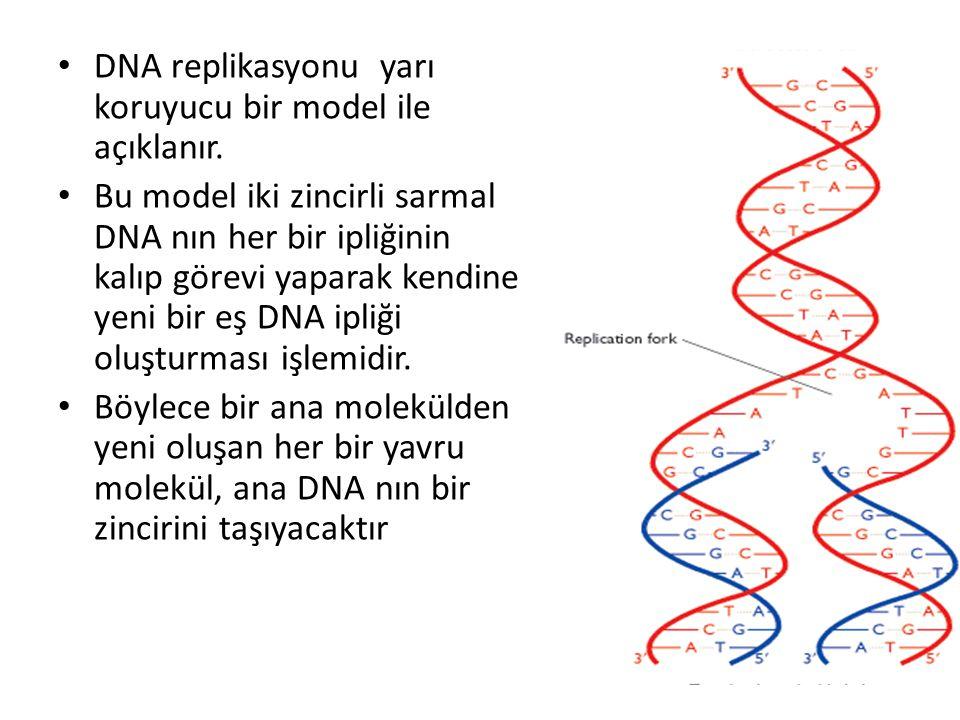 • DNA replikasyonu yarı koruyucu bir model ile açıklanır. • Bu model iki zincirli sarmal DNA nın her bir ipliğinin kalıp görevi yaparak kendine yeni b