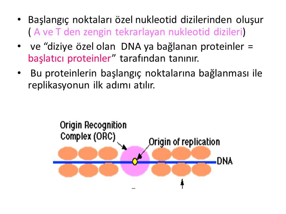 """• Başlangıç noktaları özel nukleotid dizilerinden oluşur ( A ve T den zengin tekrarlayan nukleotid dizileri) • ve """"diziye özel olan DNA ya bağlanan pr"""