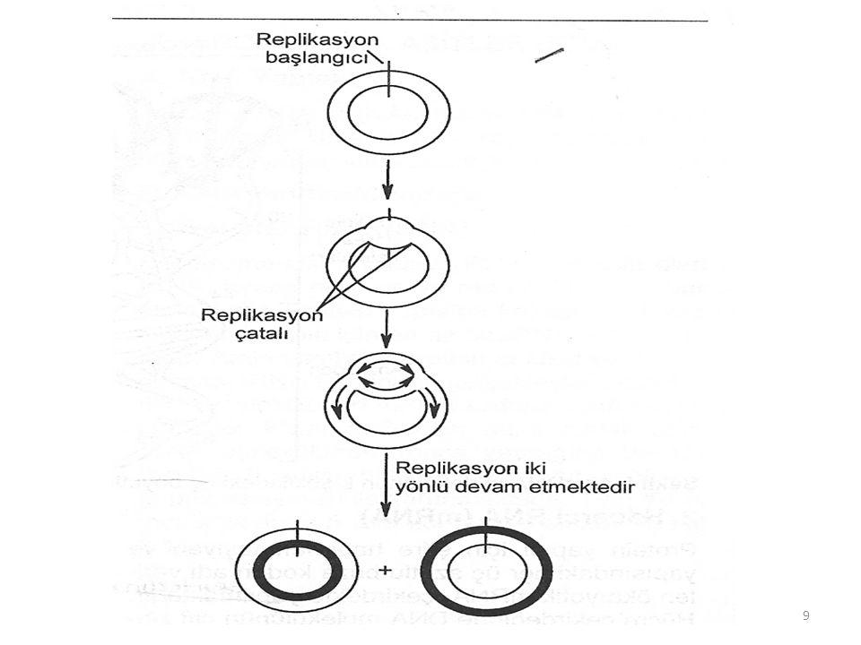 • DNA replike oldukça yeni sentezlenen histonlar ile kromatin şeklinde yeniden düzenlenir.