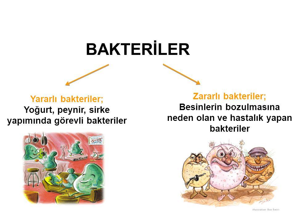 BAKTERİLER Yararlı bakteriler; Yoğurt, peynir, sirke yapımında görevli bakteriler Zararlı bakteriler; Besinlerin bozulmasına neden olan ve hastalık ya