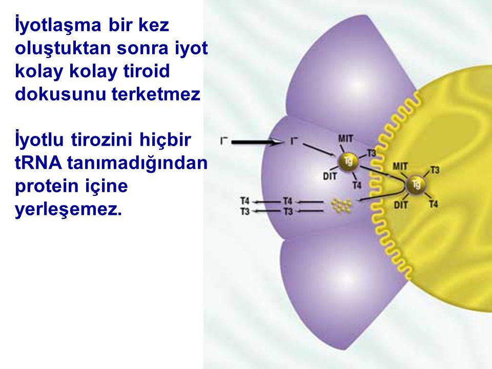 İyotlaşma bir kez oluştuktan sonra iyot kolay kolay tiroid dokusunu terketmez İyotlu tirozini hiçbir tRNA tanımadığından protein içine yerleşemez.