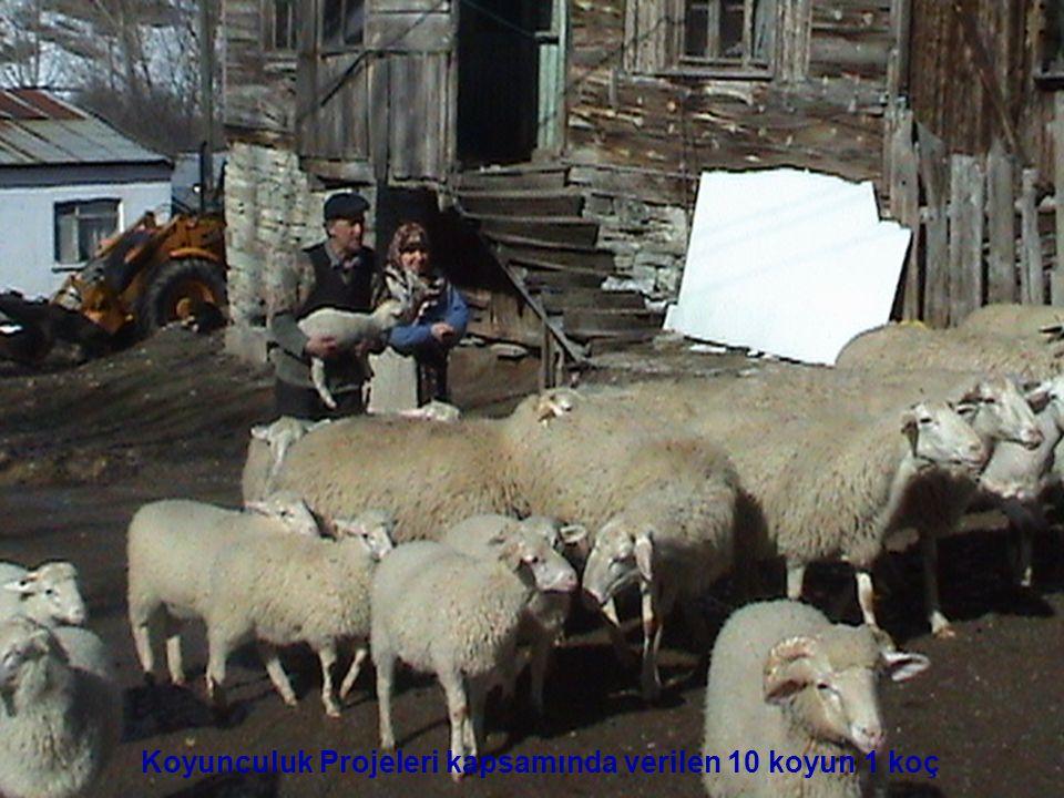 Koyunculuk Projeleri kapsamında verilen 10 koyun 1 koç