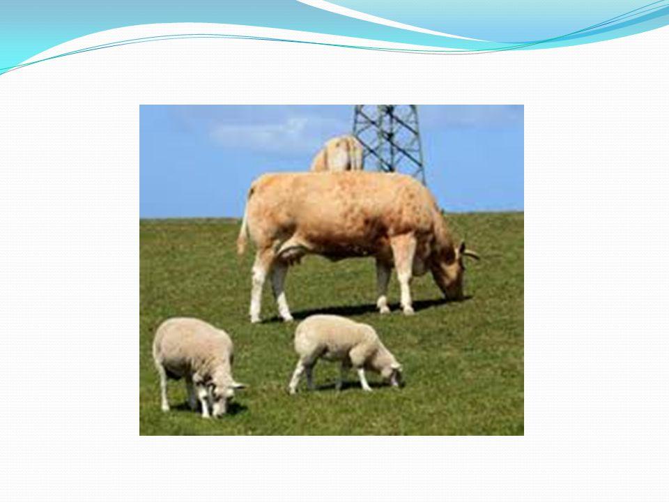 BRUSELLOZİS ( MALTA HUMMASI, YAVRU ATMA HASTALIĞI, PEYNİR HASTALIĞI ) Brusella et ve süt ürünlerinden bulaşan ülkemizde çok sık görülen mikrobik bir hastalıktır