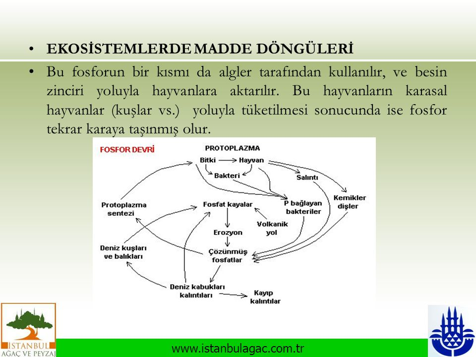 www.istanbulagac.com.tr •EKOSİSTEMLERDE MADDE DÖNGÜLERİ •Bu fosforun bir kısmı da algler tarafından kullanılır, ve besin zinciri yoluyla hayvanlara ak