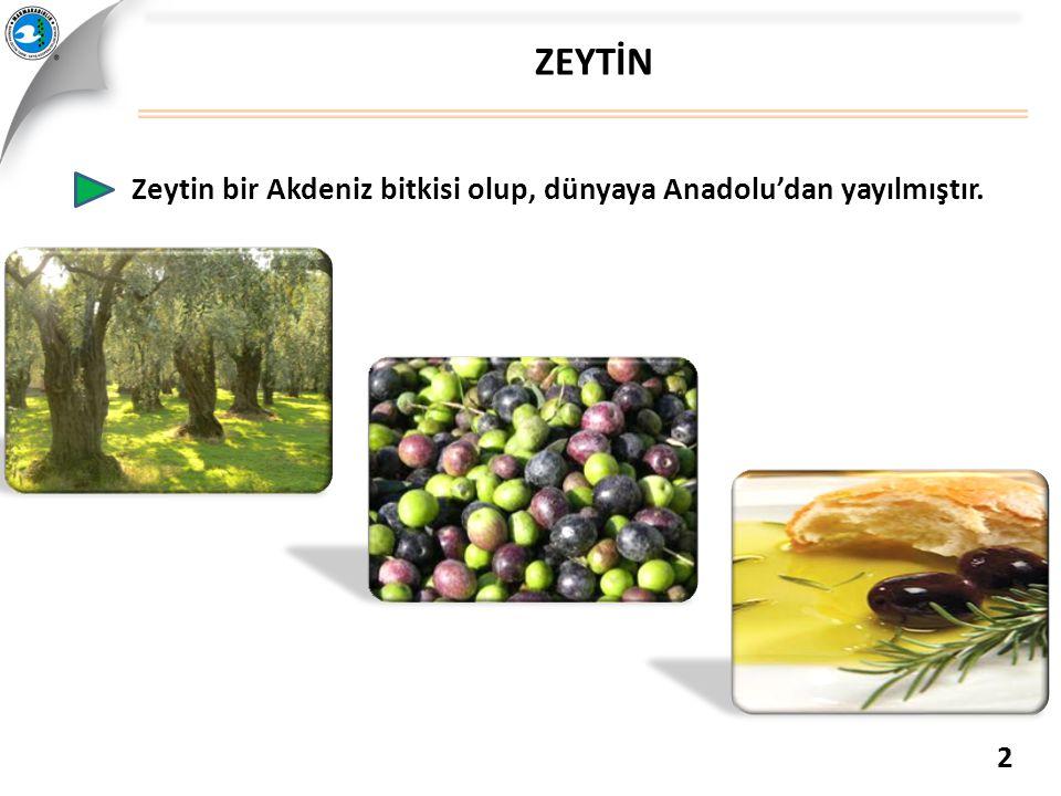 Zeytin bir Akdeniz bitkisi olup, dünyaya Anadolu'dan yayılmıştır. ZEYTİN 2