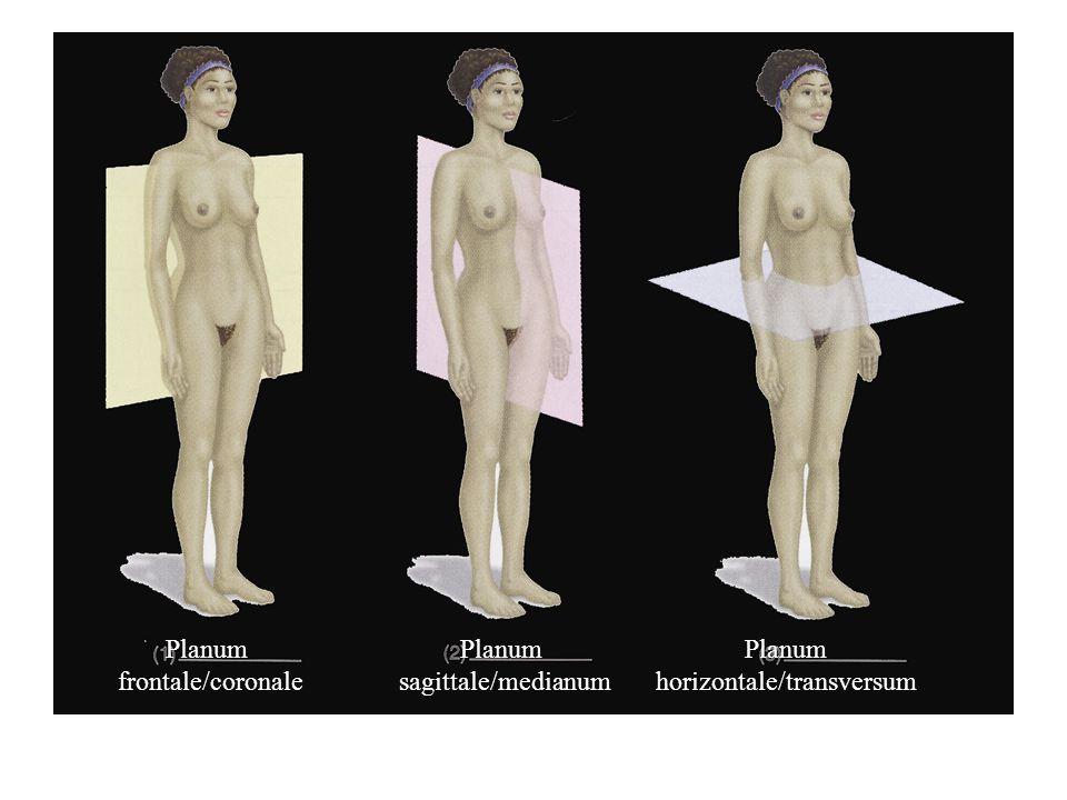 Planum frontale/coronale Planum sagittale/medianum Planum horizontale/transversum