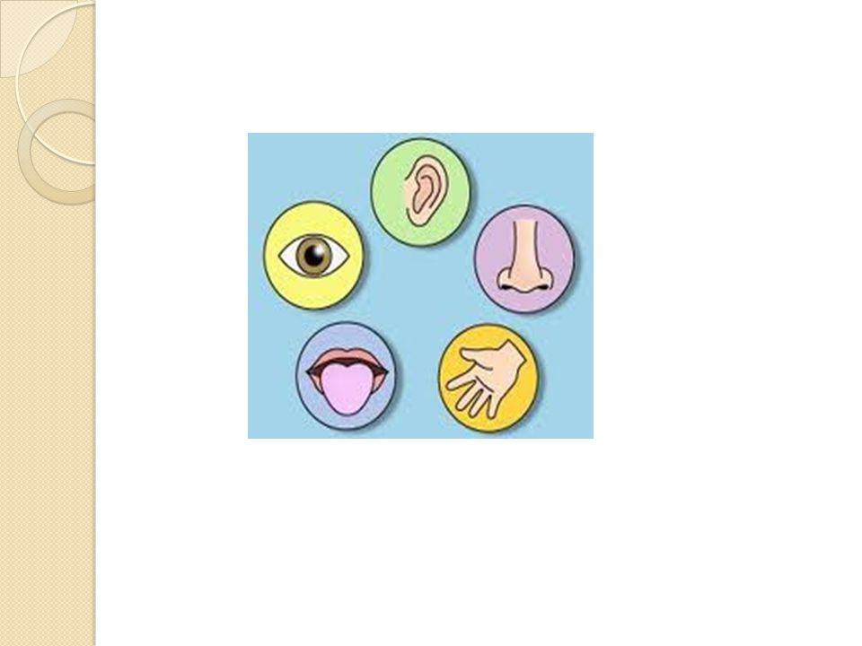 Tat ve koku  Tat duyusu  Dil, a ğ ız boşlu ğ unda hareket yetene ğ i sayesinde çi ğ neme,yutma ve konuşmaya yardımcı olur.Dil çizgili kastan yapılmış olan bir organ olup epitel doku ile örtülüdür.Dilin üzerindeki epitel hücreleri mitozla bölünerek reseptör hücrelerini, reseptör hücreleri de tat alma tomurcuklarını oluşturur.Bu tat alma tomurcukları dil üzerinde papilla denilen yapılarda bulunur.