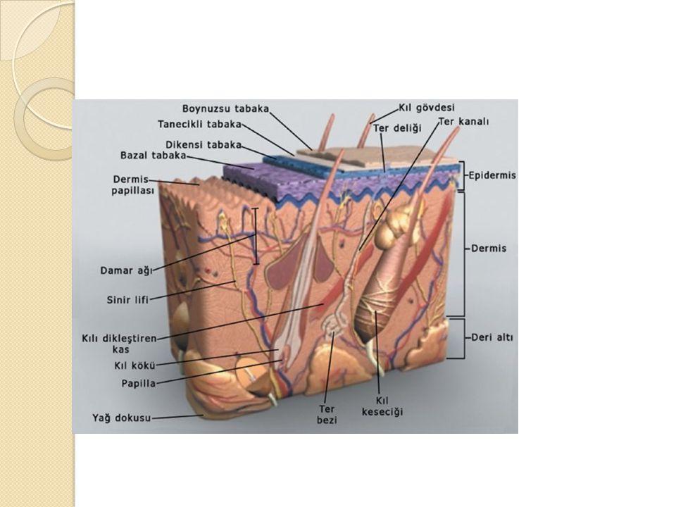  - Atar damarda kanın akışını sa ğ layan faktörler  Karıncıkların kasılması ile oluşan basınç  Atar damarın esnek yapısı  e-Toplar damarlarda kanın hareketini sa ğ layan faktörler  Kalbe do ğ ru açılan kapakçıklar  Soluk alıp verme esnasında gö ğ üs boşlu ğ unda oluşan negatif basınç  Kalbin üst seviyesindeki kanın yer çekim etkisi ile kalbe dönüşü  İ skelet kaslarının kasılıp gevşemesi  Kulakçıklarda oluşan emme kuvveti  Kılcal damarlarda kanın hareketini etkileyen faktörler  Kalbin oluşturdu ğ u basınç etkisi ile gerçekleşir  Not:Kılcal damarlar kornea ve mercekte bulunmaz.Ya ğ dokuda çok az bulunur.Beyin,karaci ğ er kaslarda ise çok fazla kılcallaşma görülür
