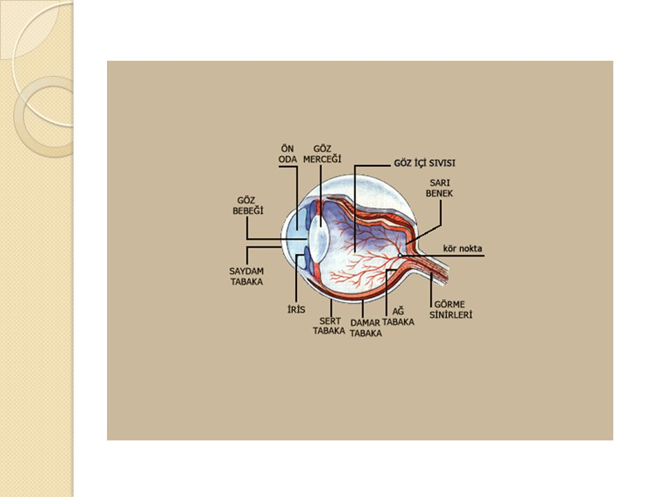  İ şitmenin olabilmesi için kulak kepçesi tarafından toplanan ses dalgalarının kulak yolunu geçerek, kulak zarını titreştirmesi gerekmektedir.Kulak zarında oluşan titreşimler orta kulaktaki çekiç, örs ve üzengi kemiklerine yükseltilerek aktarılır.Üzengi kemi ğ i bu titreşimleri oval pencere yoluyla perilenfe geçirir.