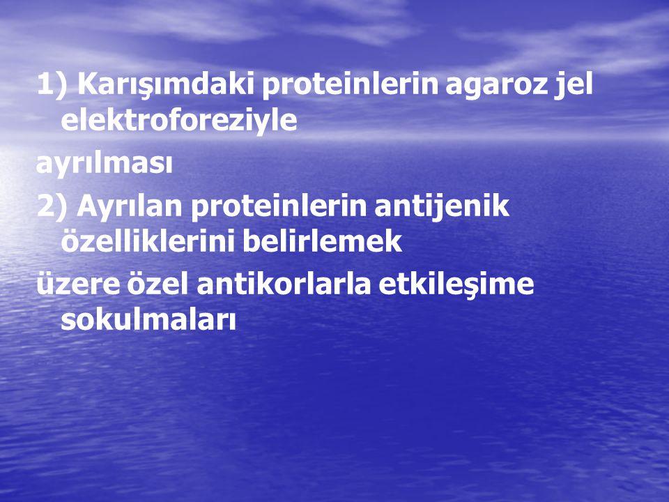 1) Karışımdaki proteinlerin agaroz jel elektroforeziyle ayrılması 2) Ayrılan proteinlerin antijenik özelliklerini belirlemek üzere özel antikorlarla e