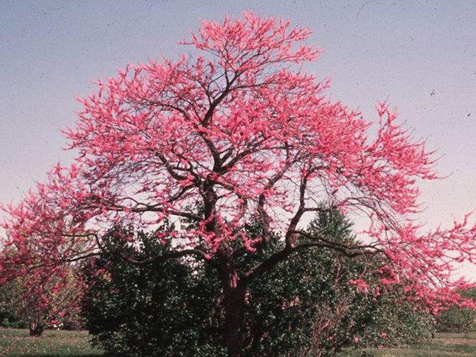 Erguvan ağacı İstanbul'un bir simgesidir. En azından geçmişte öyleydi. Beton yığınlarının çoğalmadığı dönemleri yaşayanlar, baharın İstanbul'a erguvan