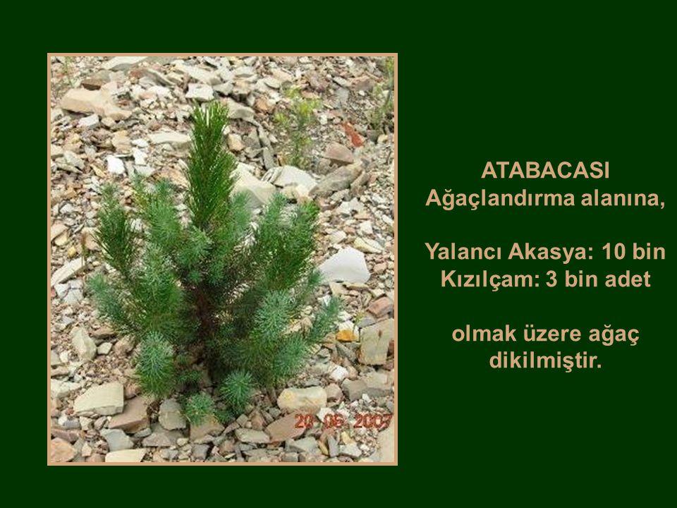 ATABACASI Ağaçlandırma alanına, Yalancı Akasya: 10 bin Kızılçam: 3 bin adet olmak üzere ağaç dikilmiştir.