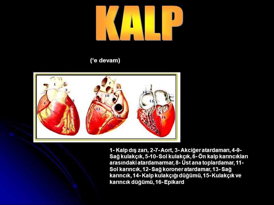 1- Kalp dış zarı, 2-7- Aort, 3- Akciğer atardamarı, 4-9- Sağ kulakçık, 5-10- Sol kulakçık, 6- Ön kalp karıncıkları arasındaki atardamarmar, 8- Üst ana