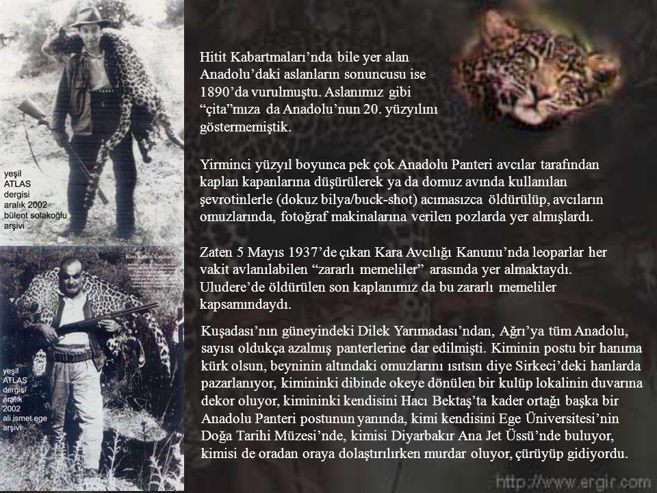 Kuşadası'nın güneyindeki Dilek Yarımadası'ndan, Ağrı'ya tüm Anadolu, sayısı oldukça azalmış panterlerine dar edilmişti.