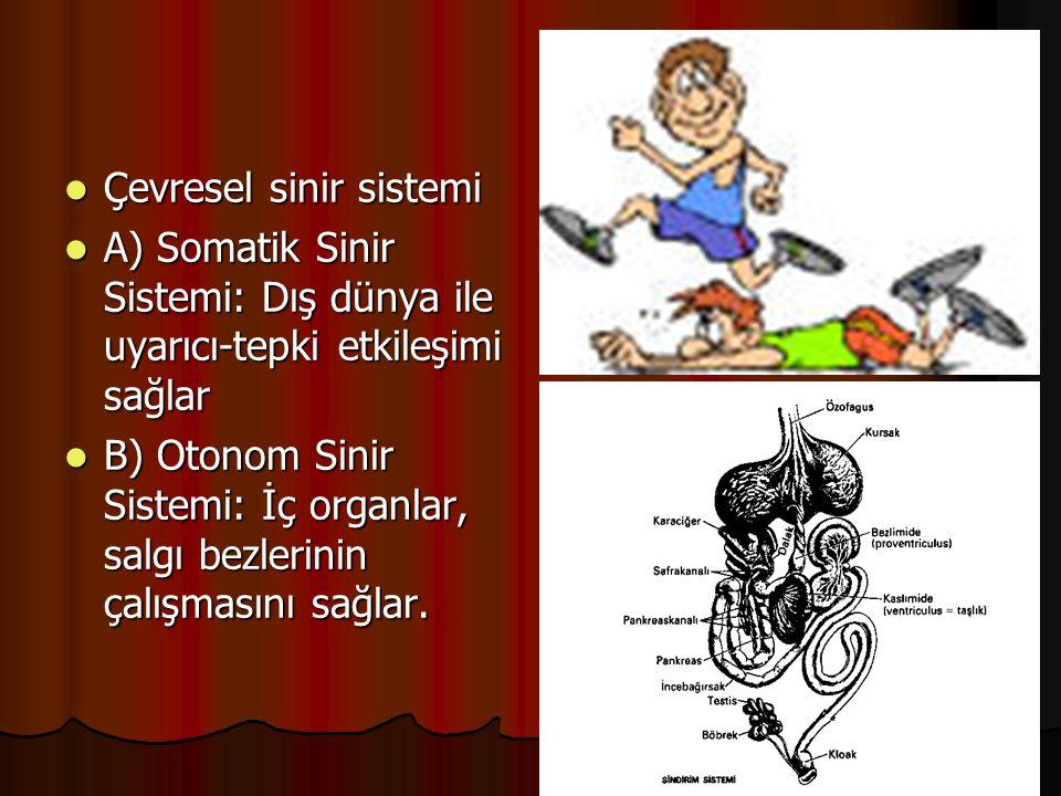  Çevresel sinir sistemi  A) Somatik Sinir Sistemi: Dış dünya ile uyarıcı-tepki etkileşimi sağlar  B) Otonom Sinir Sistemi: İç organlar, salgı bezle