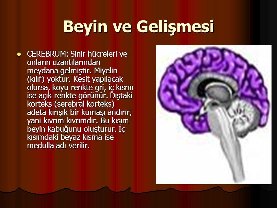 Beyin ve Gelişmesi  CEREBRUM: Sinir hücreleri ve onların uzantılarından meydana gelmiştir. Miyelin (kılıf) yoktur. Kesit yapılacak olursa, koyu renkt