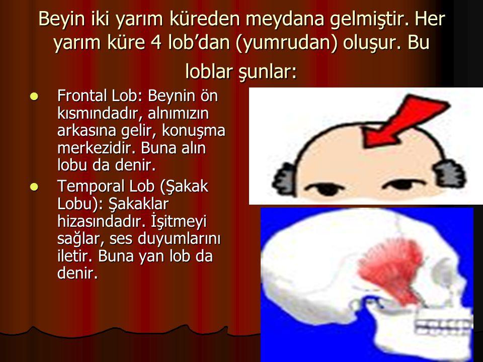 Beyin iki yarım küreden meydana gelmiştir. Her yarım küre 4 lob'dan (yumrudan) oluşur. Bu loblar şunlar:  Frontal Lob: Beynin ön kısmındadır, alnımız