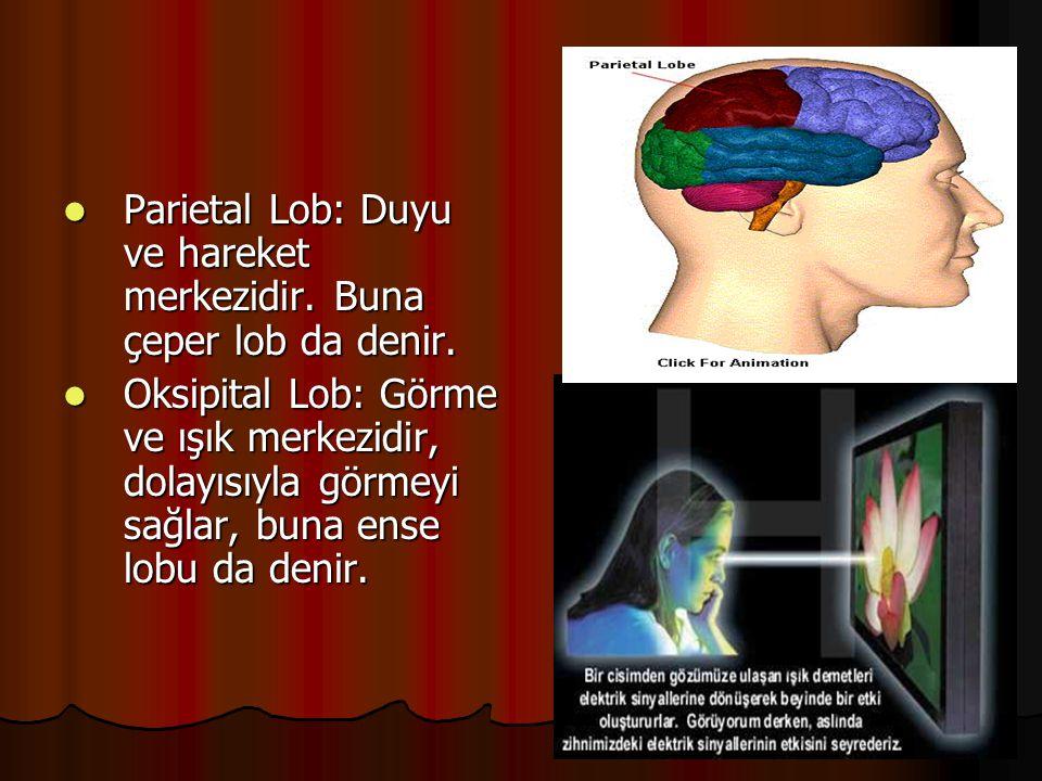 Parietal Lob: Duyu ve hareket merkezidir. Buna çeper lob da denir.  Oksipital Lob: Görme ve ışık merkezidir, dolayısıyla görmeyi sağlar, buna ense