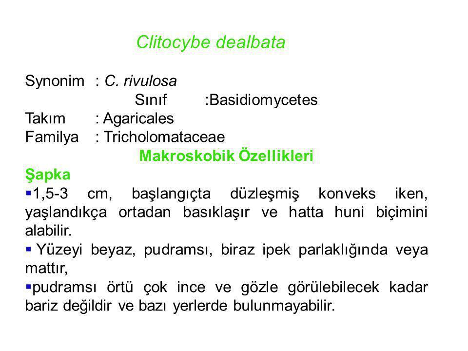 Clitocybe dealbata Synonim: C. rivulosa Sınıf:Basidiomycetes Takım : Agaricales Familya: Tricholomataceae Makroskobik Özellikleri Şapka  1,5-3 cm, ba