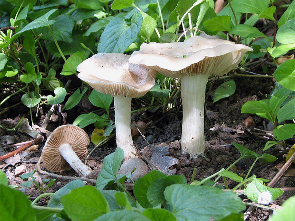 Mycena pura Synonim: M.pseudopura Sınıf: Basidiomycetes Takım: Agaricales Familya: Tricholomataceae Makroskobik Özellikleri Şapka  2-7 cm çapında, genç iken konik, daha sonra konveksleşip, düz-konveks veya oldukça düz bir hal alır ve yaygınlaşır.