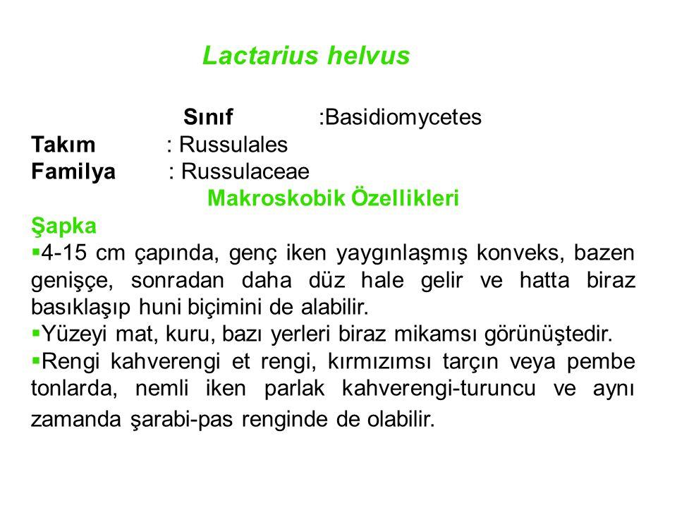 Lactarius helvus Sınıf :Basidiomycetes Takım: Russulales Familya : Russulaceae Makroskobik Özellikleri Şapka  4-15 cm çapında, genç iken yaygınlaşmış konveks, bazen genişçe, sonradan daha düz hale gelir ve hatta biraz basıklaşıp huni biçimini de alabilir.