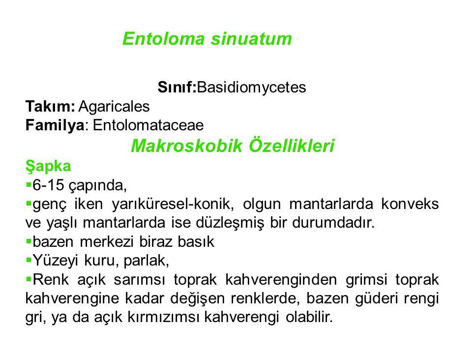 Entoloma sinuatum Sınıf:Basidiomycetes Takım: Agaricales Familya: Entolomataceae Makroskobik Özellikleri Şapka  6-15 çapında,  genç iken yarıküresel-konik, olgun mantarlarda konveks ve yaşlı mantarlarda ise düzleşmiş bir durumdadır.