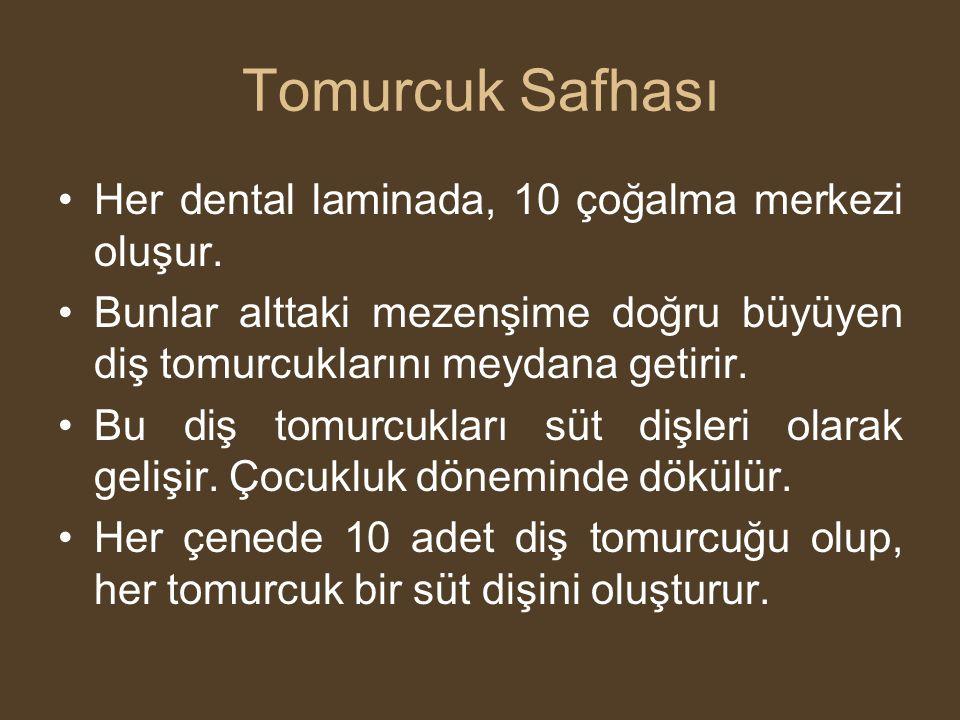 Tomurcuk Safhası •Her dental laminada, 10 çoğalma merkezi oluşur. •Bunlar alttaki mezenşime doğru büyüyen diş tomurcuklarını meydana getirir. •Bu diş