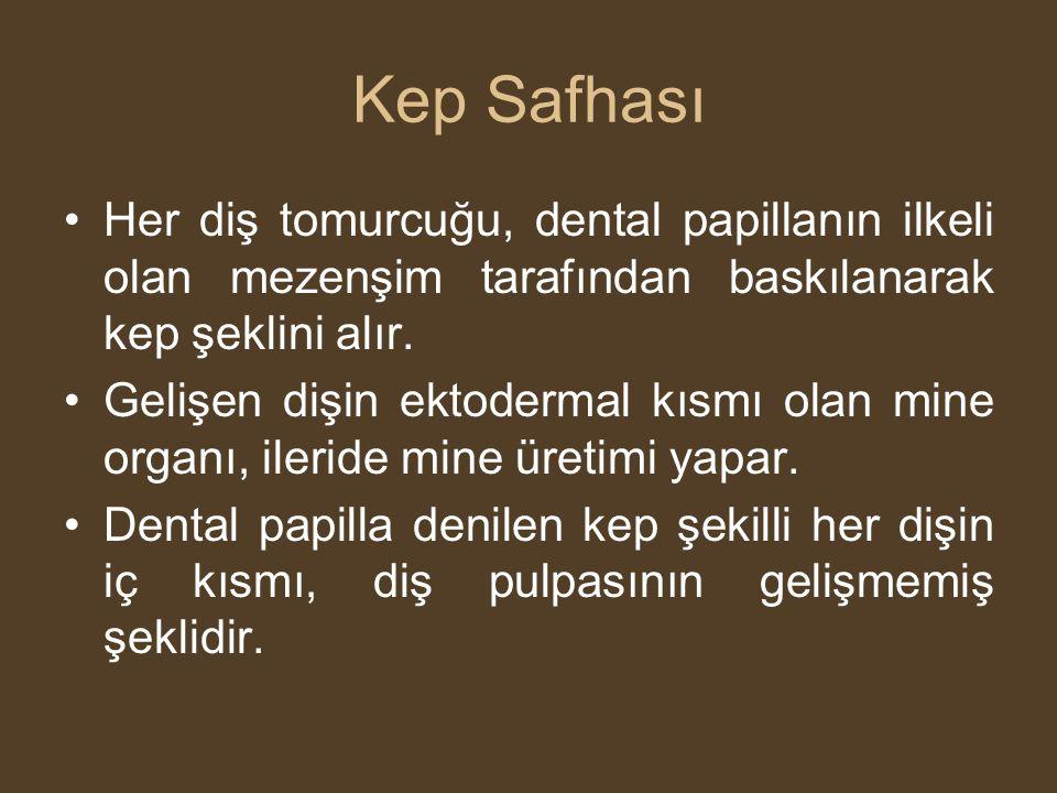 Kep Safhası •Her diş tomurcuğu, dental papillanın ilkeli olan mezenşim tarafından baskılanarak kep şeklini alır. •Gelişen dişin ektodermal kısmı olan