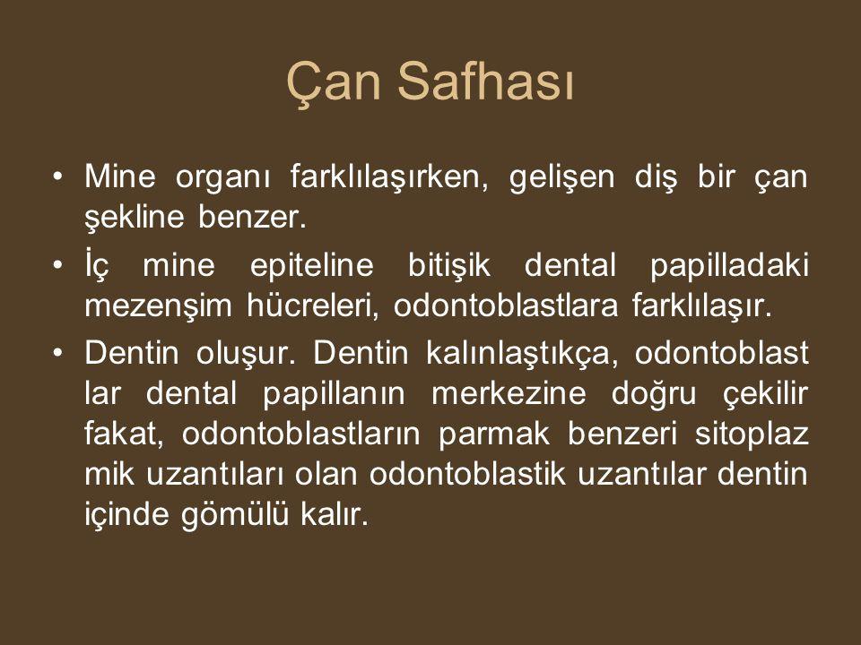 Çan Safhası •Mine organı farklılaşırken, gelişen diş bir çan şekline benzer. •İç mine epiteline bitişik dental papilladaki mezenşim hücreleri, odontob