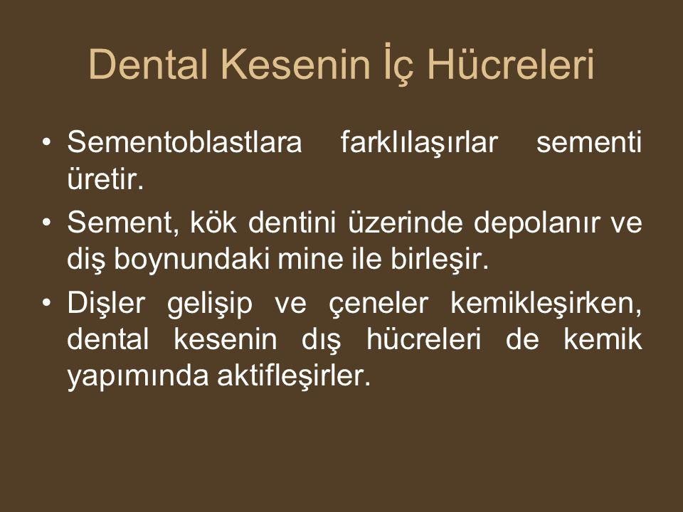 Dental Kesenin İç Hücreleri •Sementoblastlara farklılaşırlar sementi üretir. •Sement, kök dentini üzerinde depolanır ve diş boynundaki mine ile birleş