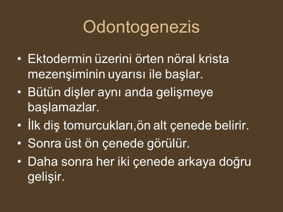 Odontogenezis •Ektodermin üzerini örten nöral krista mezenşiminin uyarısı ile başlar. •Bütün dişler aynı anda gelişmeye başlamazlar. •İlk diş tomurcuk