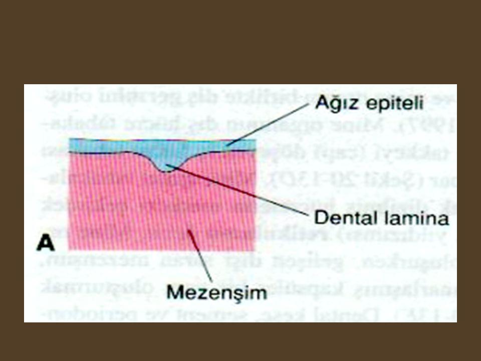 Odontogenezis •Tomurcuk Safhası (Bud Stage) •Kep Safhası(Cap Stage) •Çan Safhası (Bell Stage)