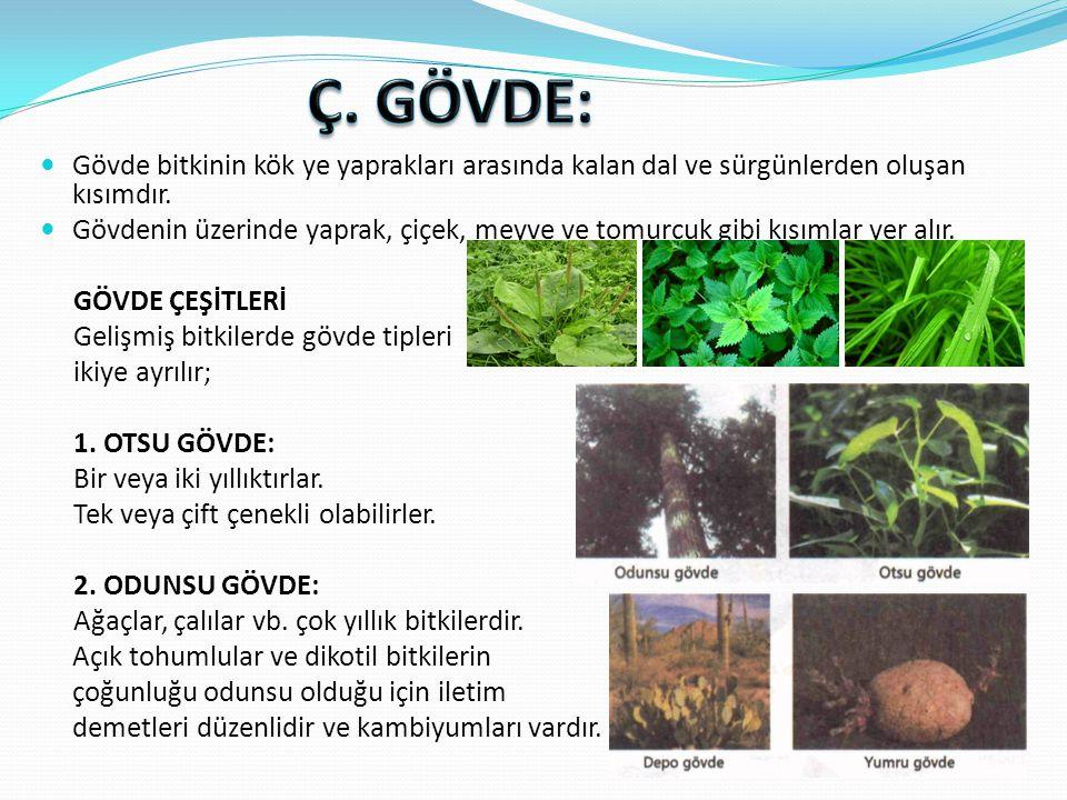  Otsu gövde yapısına sahip tek çenekli bitkilerin gövde enine kesitinde en dışta koruyucu doku olan epidermis tabakası bulunur.