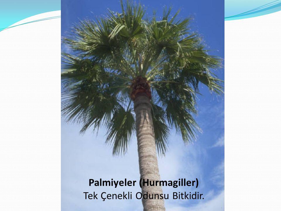 Palmiyeler (Hurmagiller) Tek Çenekli Odunsu Bitkidir.