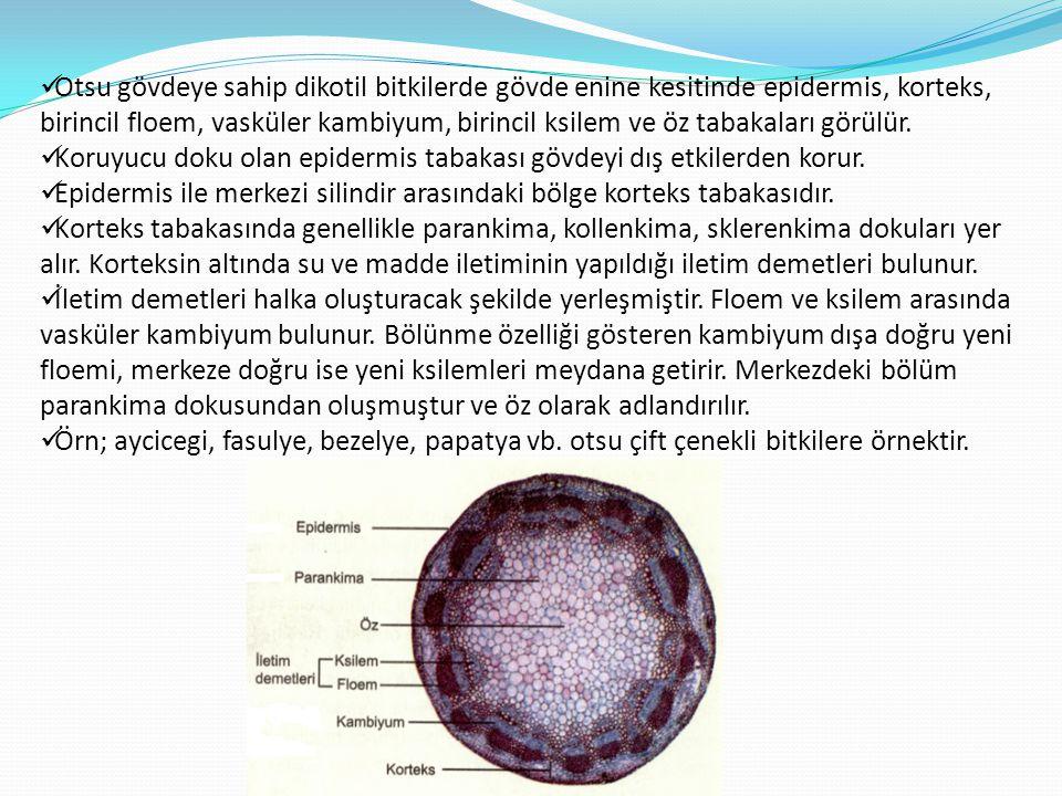  Otsu gövdeye sahip dikotil bitkilerde gövde enine kesitinde epidermis, korteks, birincil floem, vasküler kambiyum, birincil ksilem ve öz tabakaları
