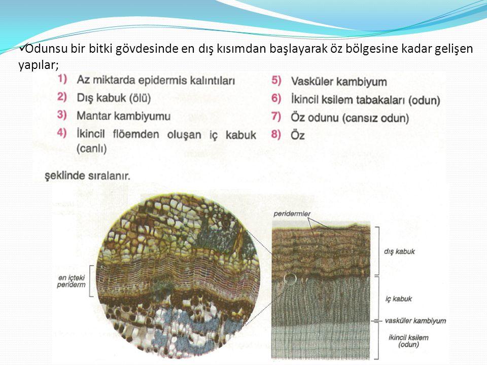  Odunsu bir bitki gövdesinde en dış kısımdan başlayarak öz bölgesine kadar gelişen yapılar;
