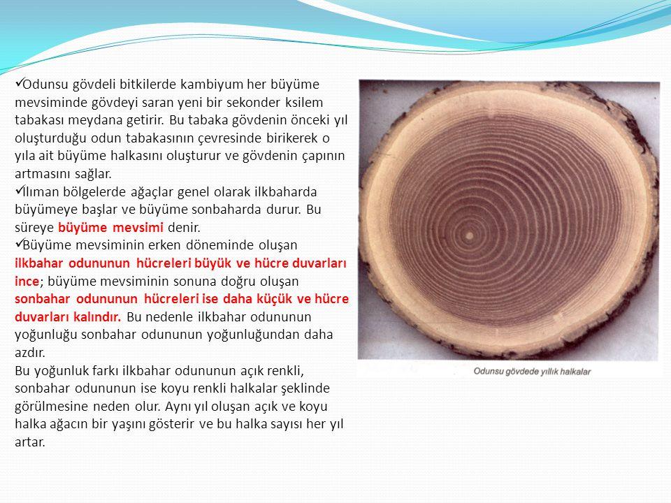  Odunsu gövdeli bitkilerde kambiyum her büyüme mevsiminde gövdeyi saran yeni bir sekonder ksilem tabakası meydana getirir. Bu tabaka gövdenin önceki