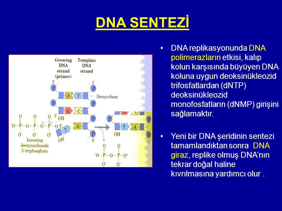 DNA SENTEZİ •DNA replikasyonunda DNA polimerazların etkisi, kalıp kolun karşısında büyüyen DNA koluna uygun deoksinükleozid trifosfatlardan (dNTP) deo