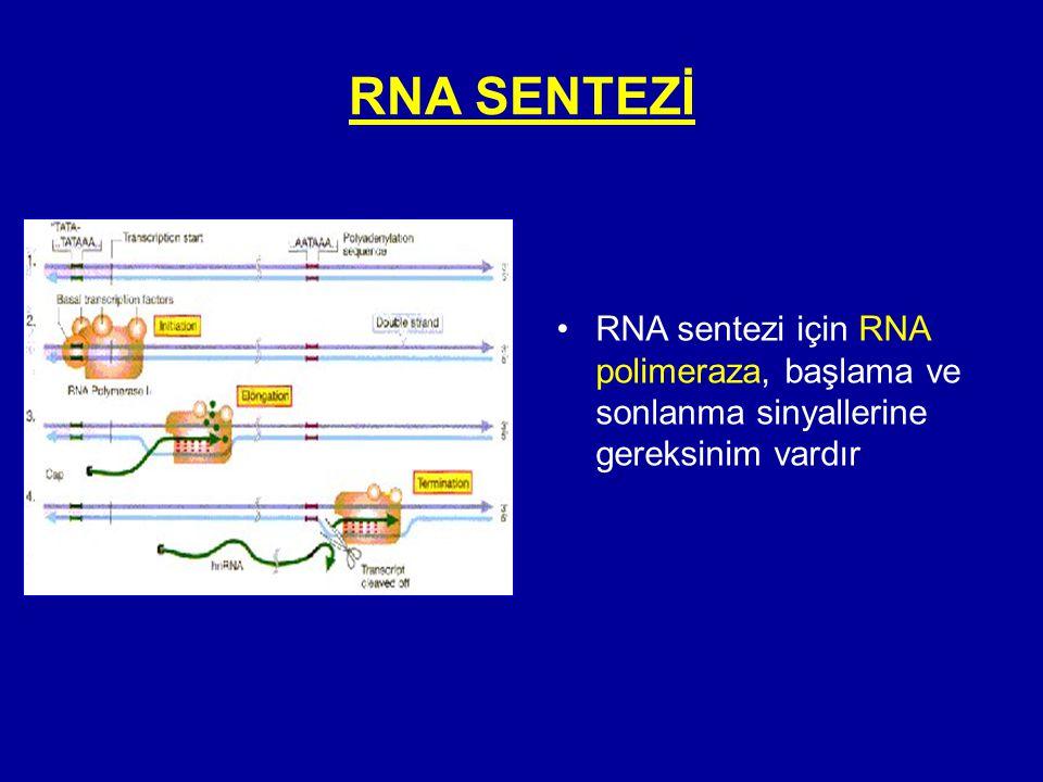 RNA SENTEZİ •RNA sentezi için RNA polimeraza, başlama ve sonlanma sinyallerine gereksinim vardır