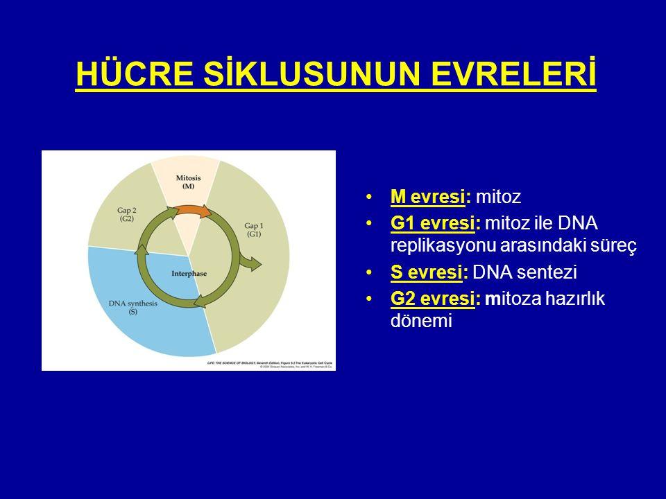 HÜCRE SİKLUSUNUN EVRELERİ •M evresi: mitoz •G1 evresi: mitoz ile DNA replikasyonu arasındaki süreç •S evresi: DNA sentezi •G2 evresi: mitoza hazırlık
