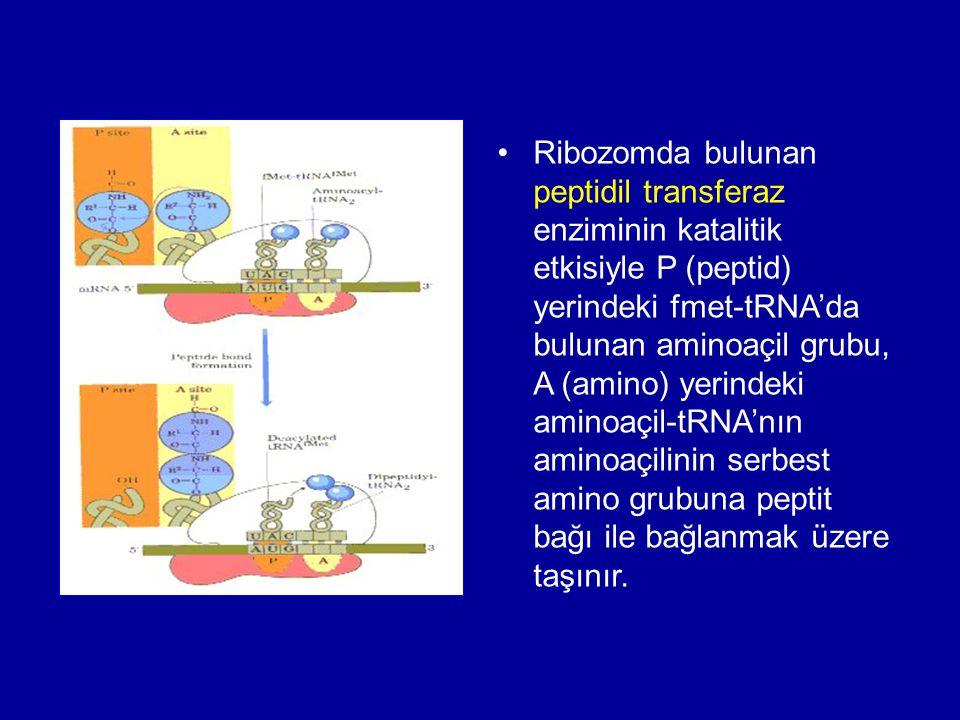 •Ribozomda bulunan peptidil transferaz enziminin katalitik etkisiyle P (peptid) yerindeki fmet-tRNA'da bulunan aminoaçil grubu, A (amino) yerindeki am