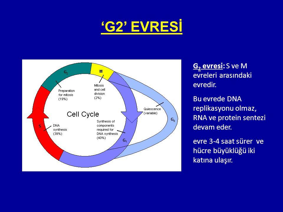 G 2 evresi: S ve M evreleri arasındaki evredir. Bu evrede DNA replikasyonu olmaz, RNA ve protein sentezi devam eder. evre 3-4 saat sürer ve hücre büyü