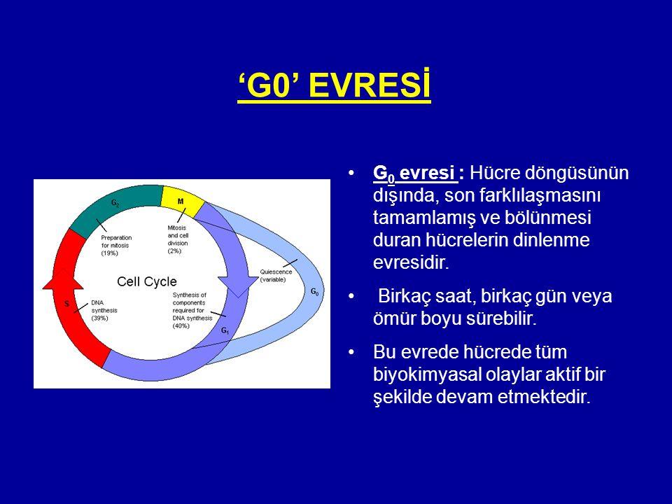 'G0' EVRESİ •G 0 evresi : Hücre döngüsünün dışında, son farklılaşmasını tamamlamış ve bölünmesi duran hücrelerin dinlenme evresidir. • Birkaç saat, bi