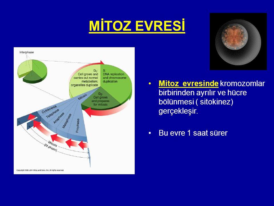 MİTOZ EVRESİ •Mitoz evresinde kromozomlar birbirinden ayrılır ve hücre bölünmesi ( sitokinez) gerçekleşir. •Bu evre 1 saat sürer