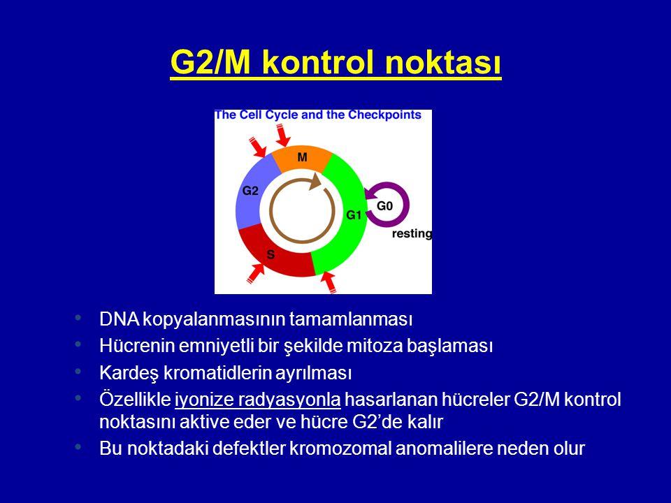 G2/M kontrol noktası • DNA kopyalanmasının tamamlanması • Hücrenin emniyetli bir şekilde mitoza başlaması • Kardeş kromatidlerin ayrılması • Özellikle