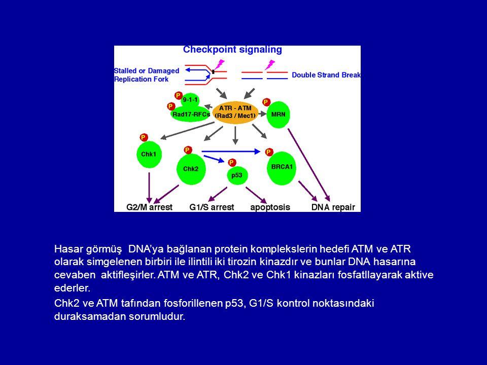 Hasar görmüş DNA'ya bağlanan protein komplekslerin hedefi ATM ve ATR olarak simgelenen birbiri ile ilintili iki tirozin kinazdır ve bunlar DNA hasarın